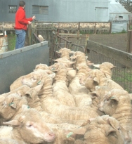 sheep-weighing-803