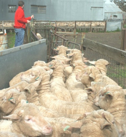sheep-weighing-803