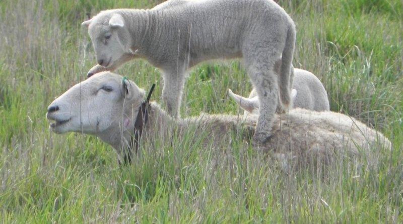 ewe-resting-with-lamb-on-back-d-913
