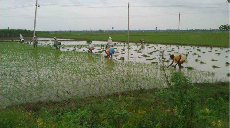world-food-india-planting-rice-2012-photo-aaron-sanderson