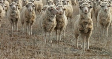 sheep-merino-on-stubble-2004