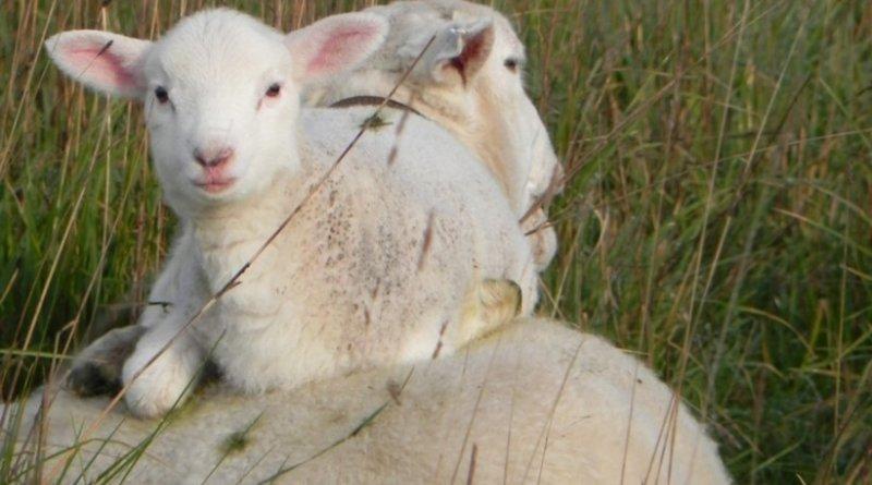 ewe-and-lamb-a