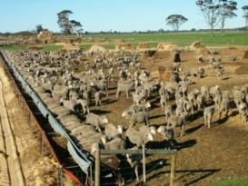 sheep-nepowie-feedlot-wa-c604
