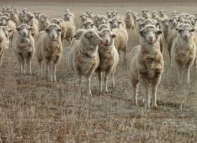 sheep-merino-on-stubble-2004