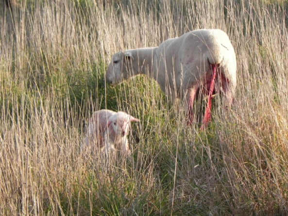 lambing-ewe-pasture-for-protection-and-nutrition-912