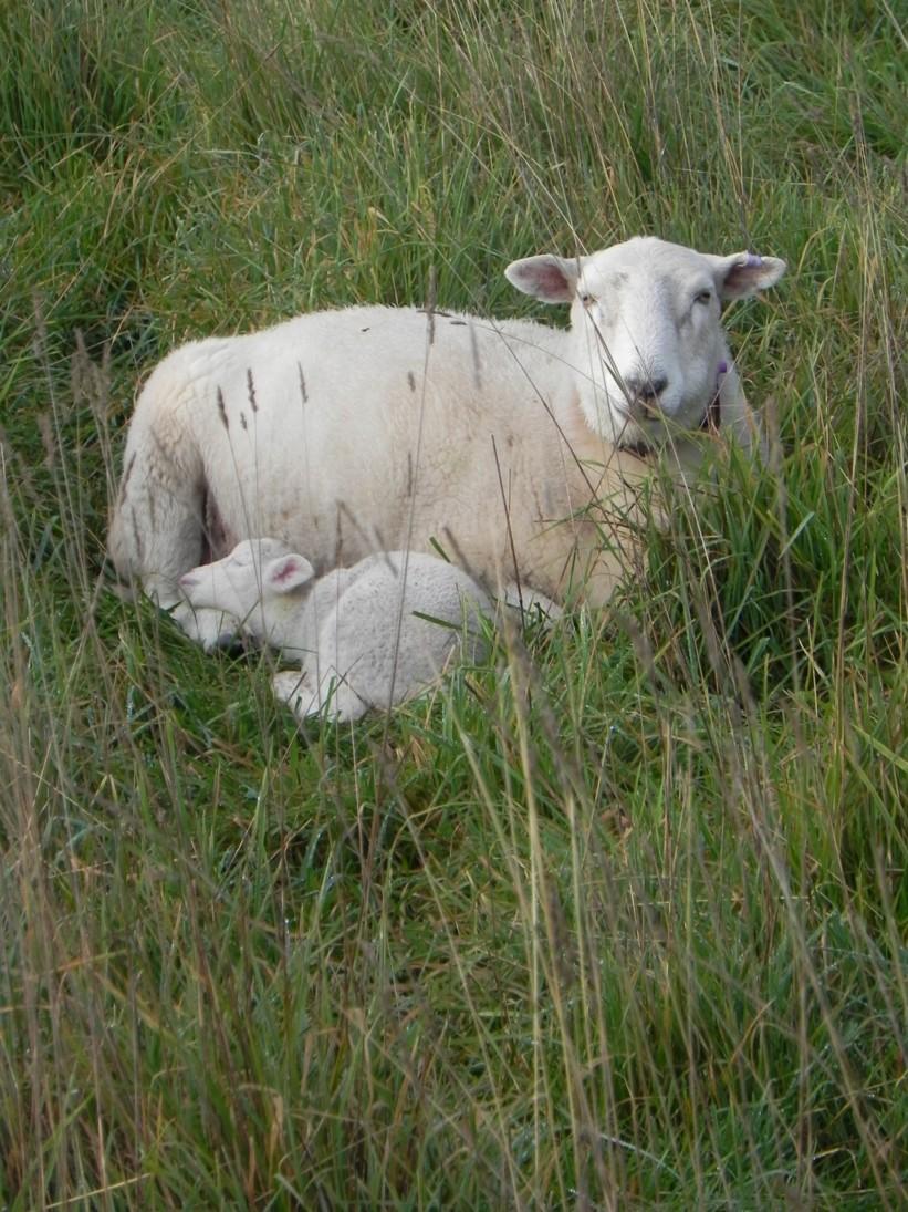 ewe-and-lamb-c
