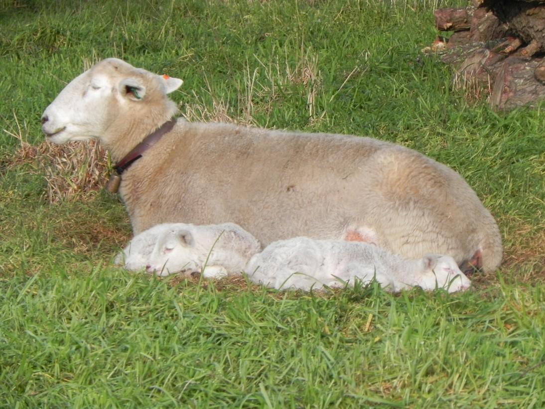 ewe-and-lamb-d