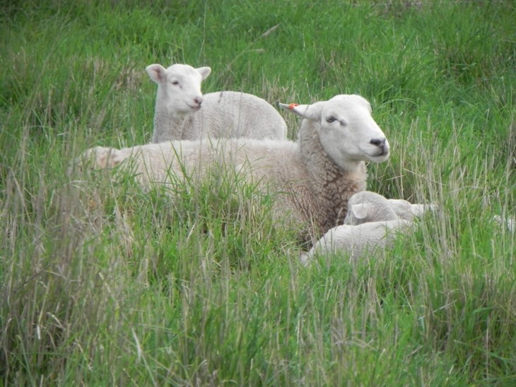 ewe-and-lambs-resting-in-pasture-913