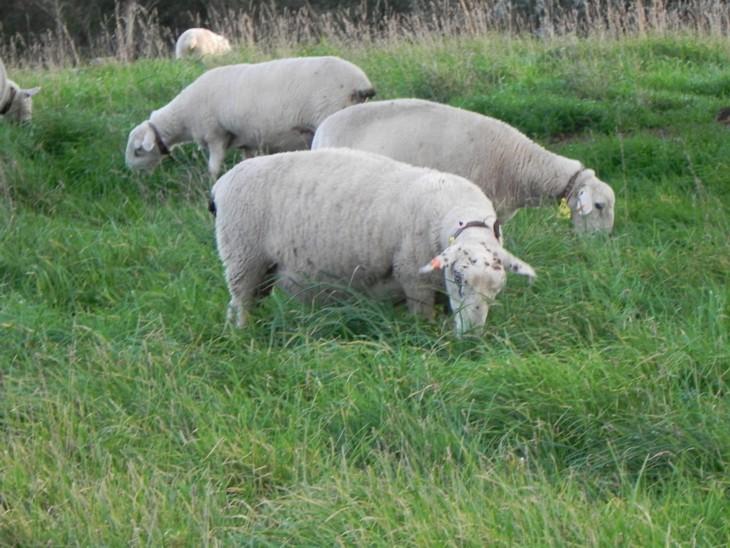 ewe-pregnant-nutrition-814_1