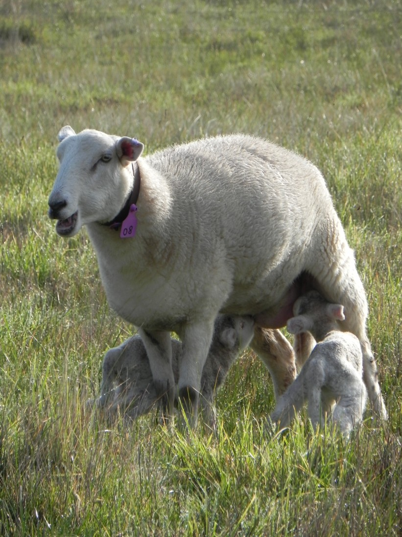 hogget-ewe-with-twins_2