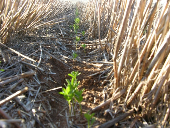 soil-health-crops-stubble-and-precision-sowing-legume-610