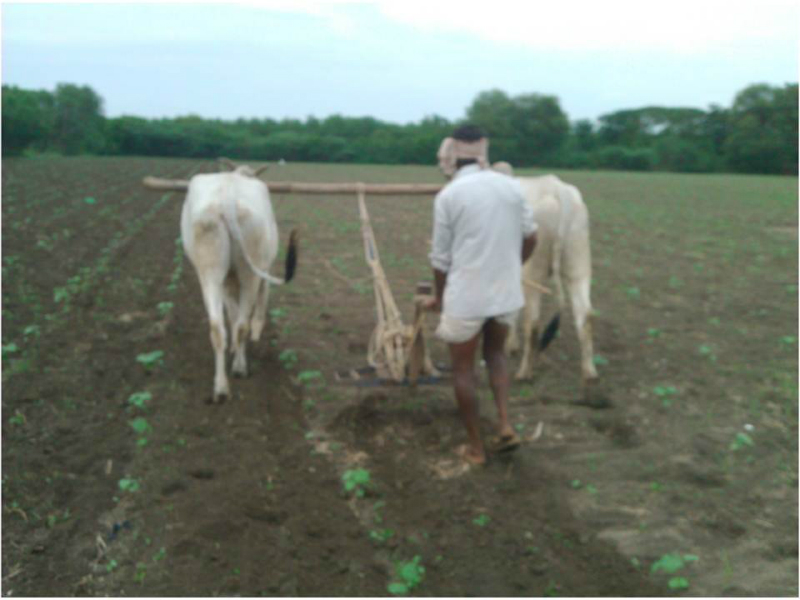 food-india-plowing-with-ox-2012-photo-aaron-sanderson
