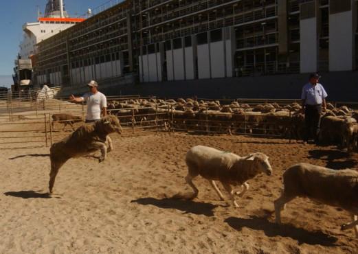 live-export-4-sheep