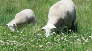 Moffitts Farm ewe and lamb graze on clover and perennial pasture species