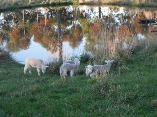 lambs 2012