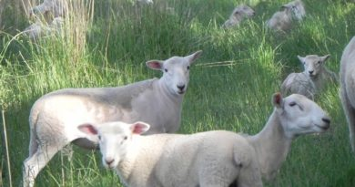 Wiltipoll ewes and lambs