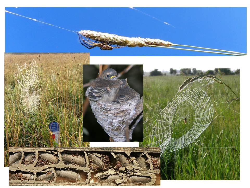 The implications of holistic grazing management and allowing grasses to set seed is impressively demonstrated by pasture spiders. They spin webs to catch prey, become prey for wasps and web is used by some birds to line nests.