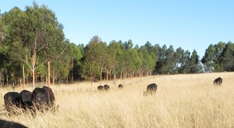 Cattle grazing on Moffitts Farm January 2013