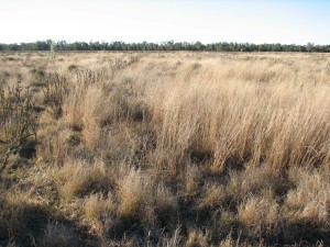 After five years: The once-bare claypan is now covered in dense grass. Picture taken in mid-June 2012.