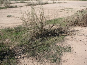 After two years: The missing saltbush leaves eaten by livestock allow the pattern of regeneration around the saltbush to be clearly seen.