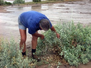 Rory Frost inspecting planted saltbush. It was the catalyst for a long term claypan turning into thick grass instead of shedding water after one millimetre of rain.