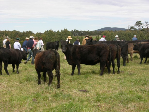Livestock on Moffitts Farm usually 'participate' in farm walks as they are unstressed by visitors inpsecting their pastures.
