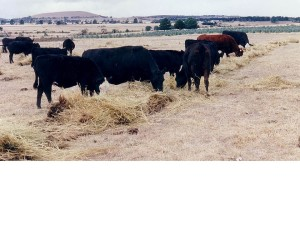 The Triple P program used high amount of artificial and costly inputs to boost carry capacity. High pasture utilisation meant grasses were mostly eaten or cut for hay and silage in spring. If little summer and autumn rain fell, the hay and silage is fed back adding to costs of production. This photo in April 1997 shows hay feeding to maintain the Triple P stocking rate trial herd.
