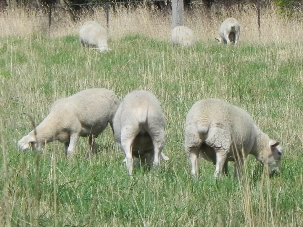 Moffitts Farm Wiltipoll lawn mowing sheep can keep pasture around yards and storage areas under control, but need regular shifting into rested paddocks or yards to maintain their health.