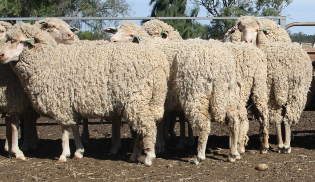 Having wooly short tails does not present any management issues in Parkdale Merinos as these 18 months old ewes in 10 months wool demonstrate – there are  no dags or breech urine stain.