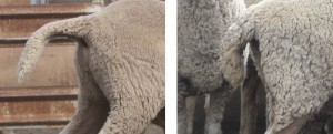 Don Mudford has observed that a thinner tail with less wool towards the end seems to ensure a more active tail lift, probably because the muscles at the butt of the tail can lift it more easily. Source: Parkdale SRS(r) Merino Stud.