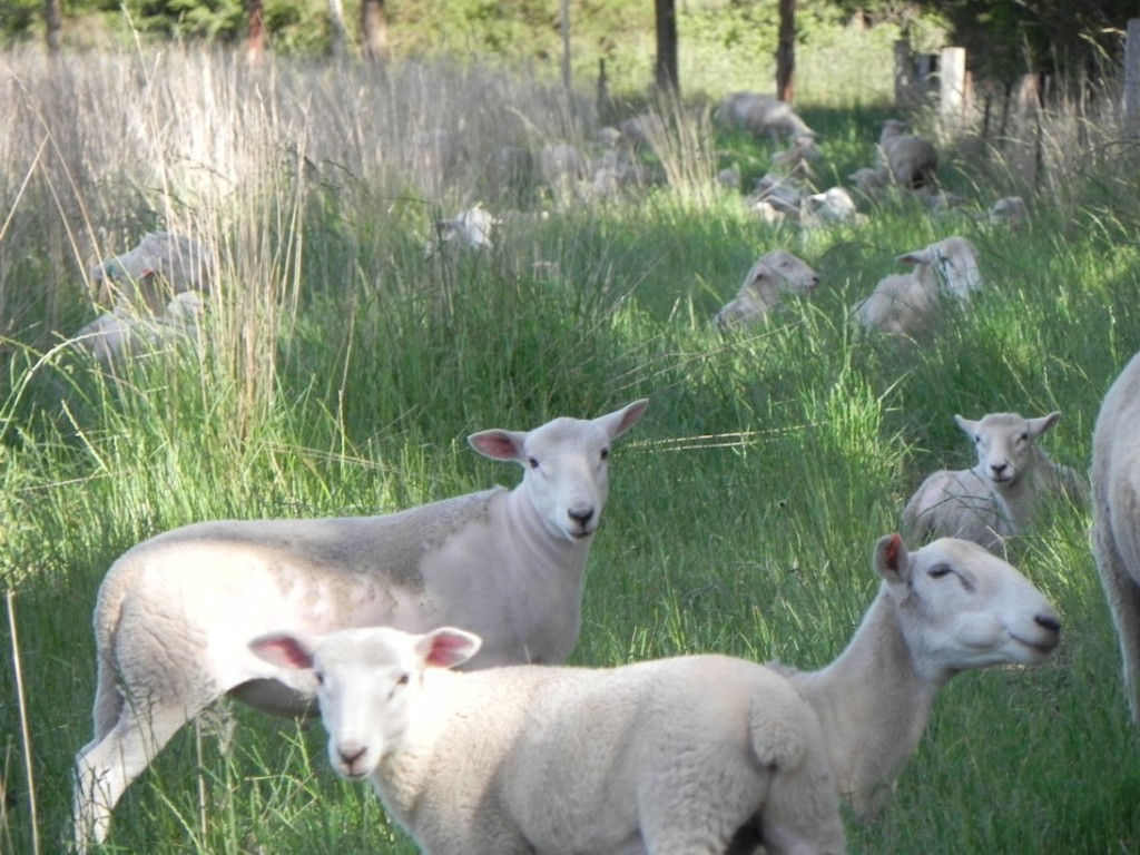 Wiltipoll ewes and lambs resting in around 4000 kg green dry matter of evergreen pasture and shade, mid-November.
