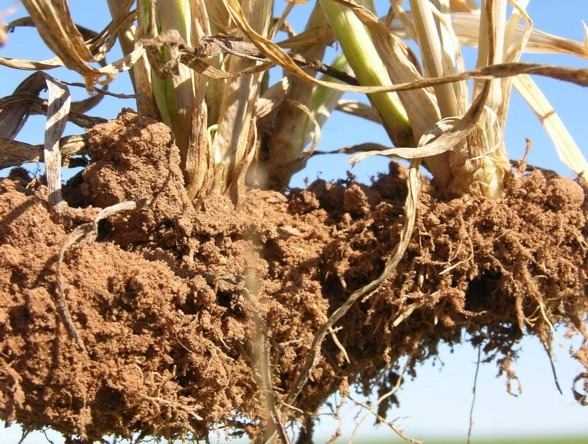 Low organic matter soils result in more plant liquid carbon released into soil resulting in lower grain yield.