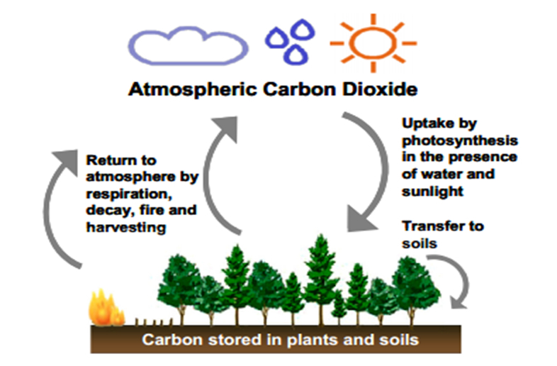 An diagram of soil carbon cycle showing atmospheric carbon dioxide is taken up by plants then transferred to soils, some o fthe carbon stored in plants and soils is returned to the atmosphere by respiration, decay, fire and harvesting.