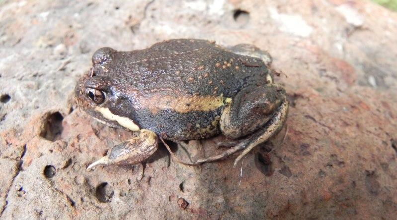 Eastern banjo frog