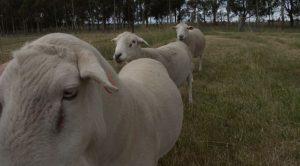 Moffitts Farm wiltipoll rams