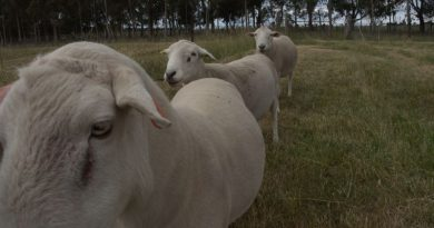 Moffitts Farm wiltipoll rams