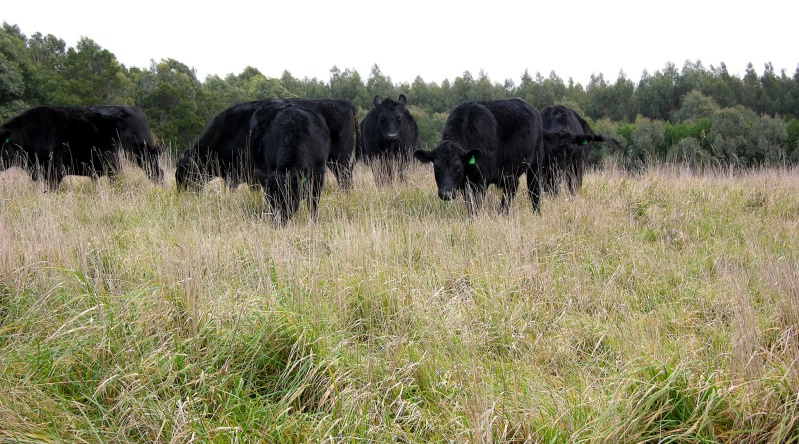Cattle in long pasture with forestry in the background