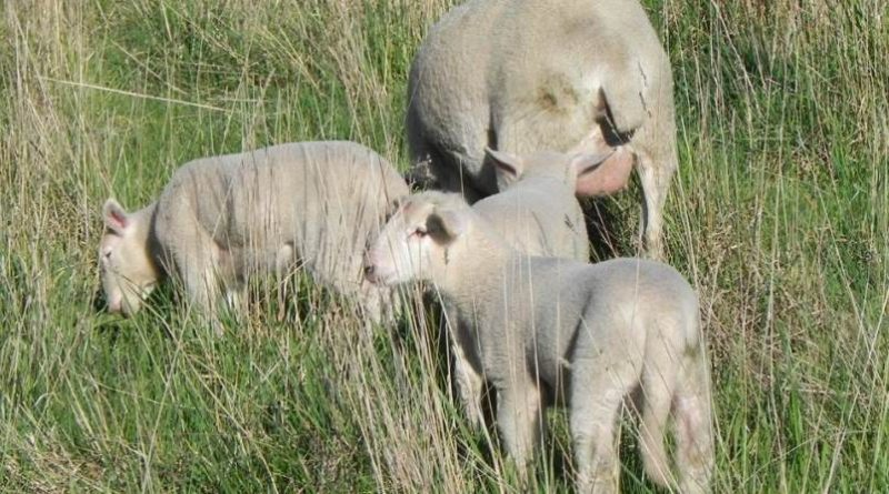 Lambs and ewe on prolific pastures
