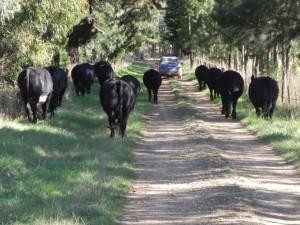 Bullocks 412