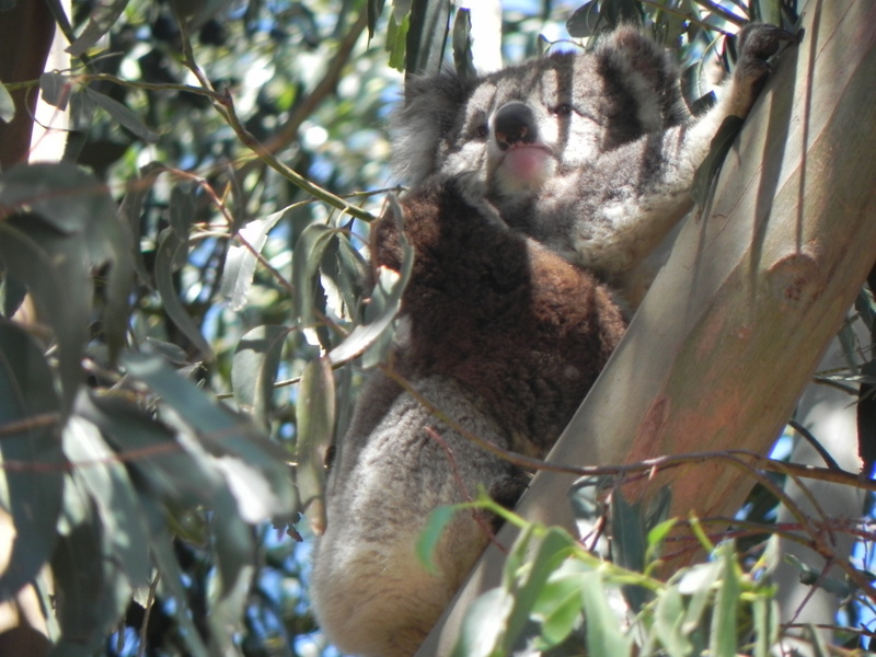Koalas return to the property 20 years after planting manna gums