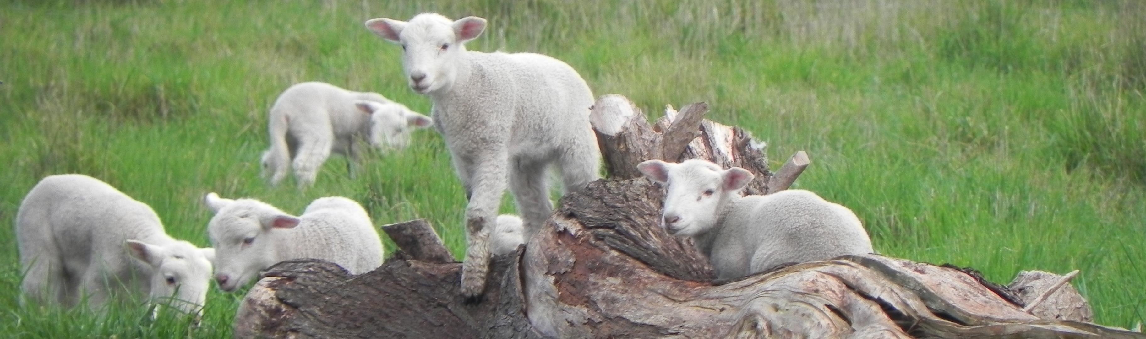 long skinny lamb pic