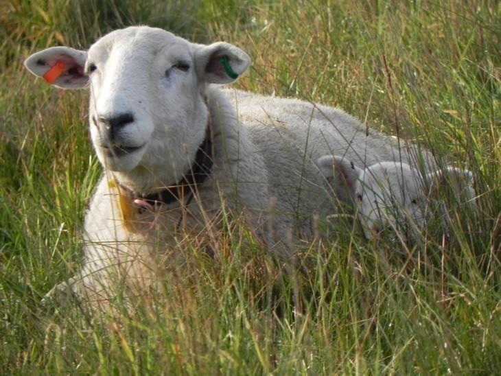 ewe and lamb e small 914