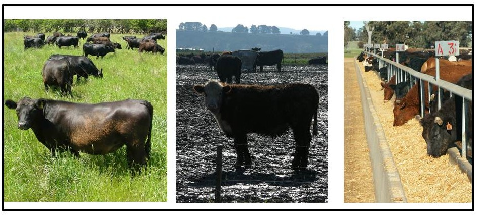 Pasture intensification beef cattle