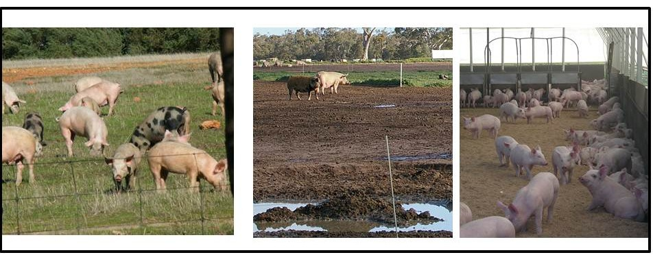 Pasture intensification pigs