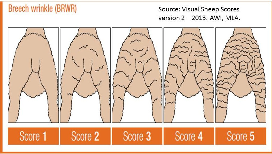 Breech wrinkle scoring diagram hoggets