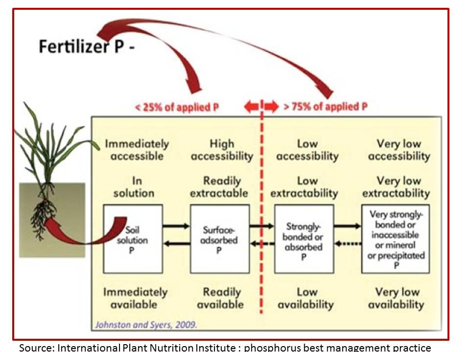 Phopshours fertiliser fate