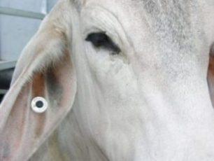 brahman bull head d 506