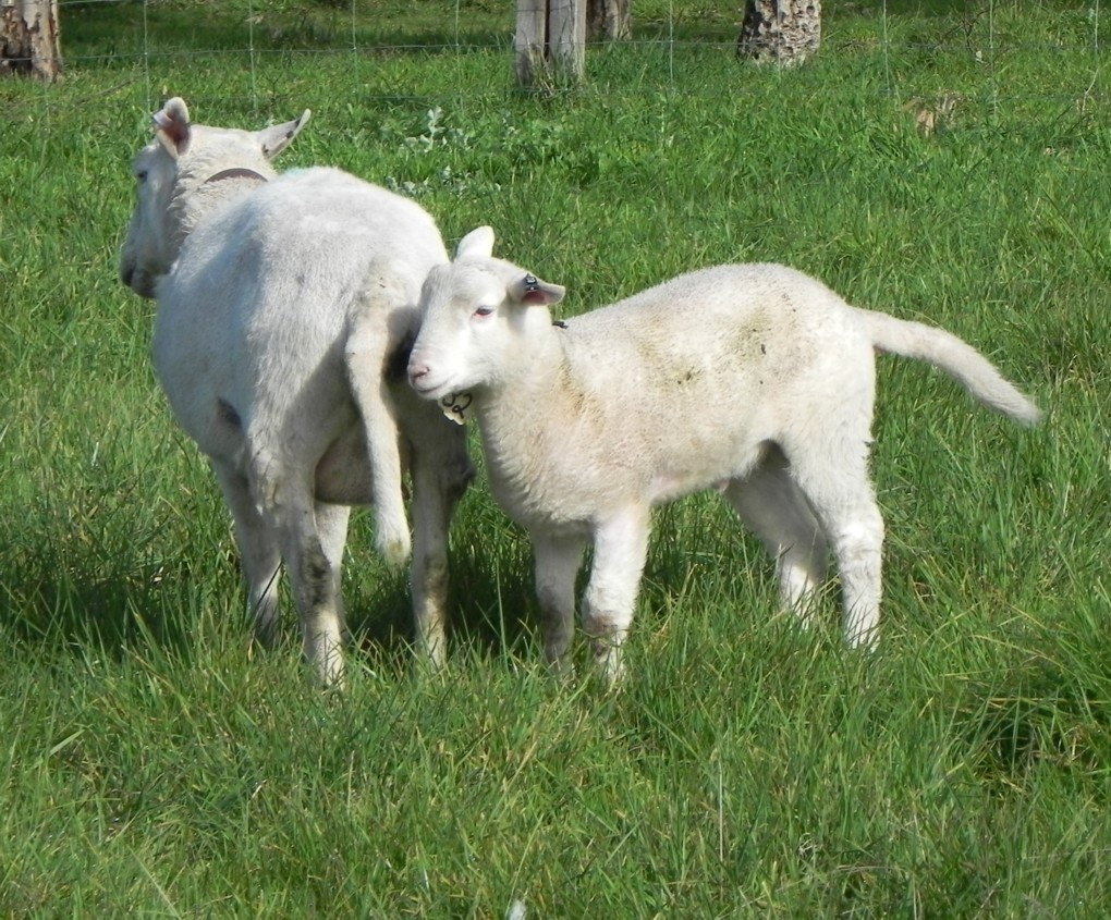 ewe-and-lamb-with-tails