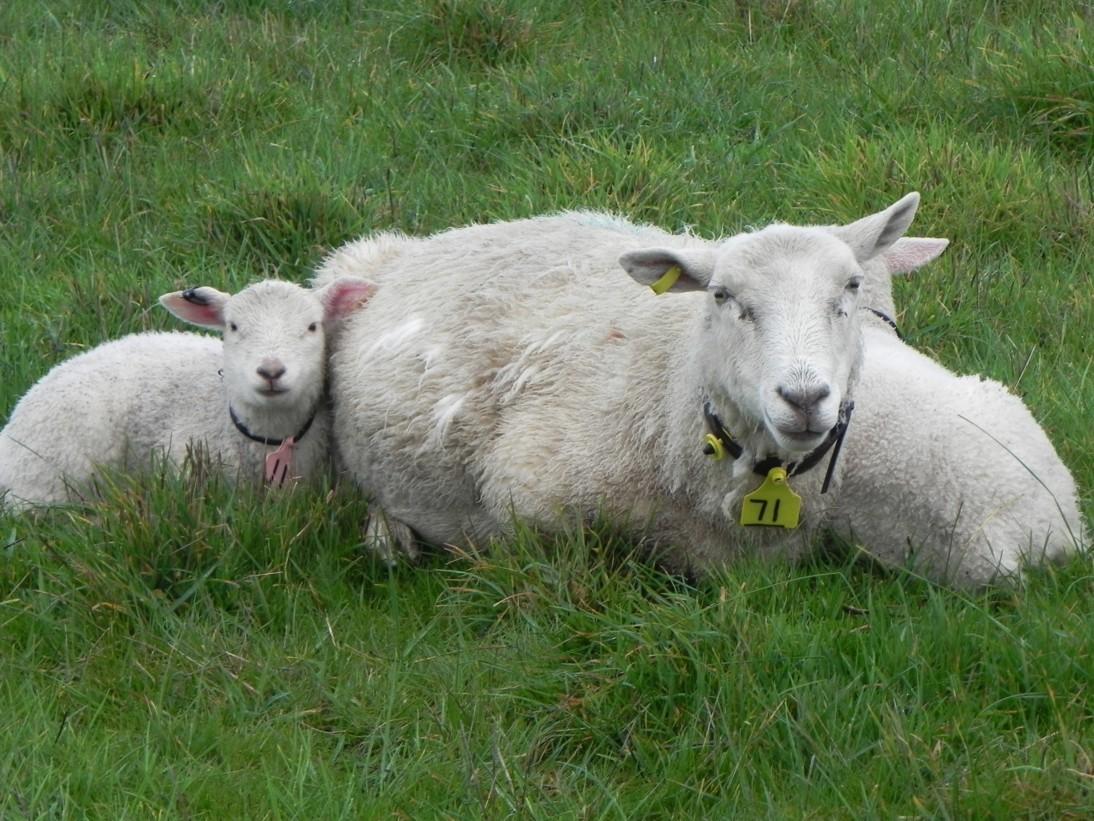 ewe-lambs-matching-lambs-to-ewes-916