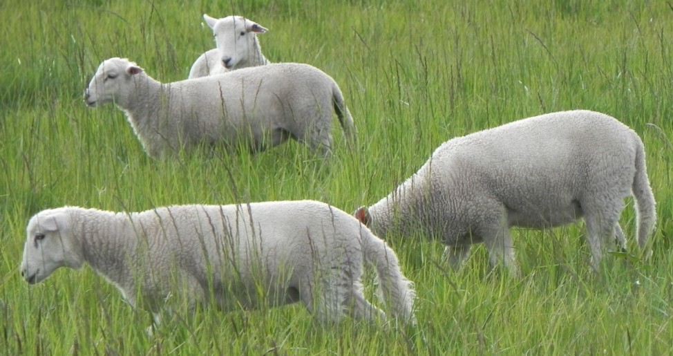 lambs-with-tails-1016